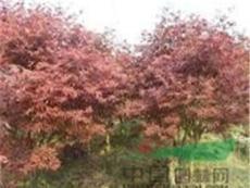 红枫价格/美国红枫基地大量供应红枫