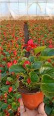 青州大花海棠杯苗--大花海棠盆栽苗价格