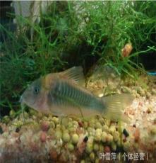 上海热带观赏鱼养殖基地大量供应批发 咖啡鼠鱼 渔场自产自销