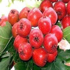 辽宁甜红子山楂价格最低适合南北方果树种植