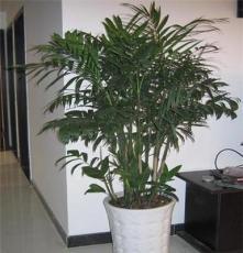 南昌花卉租摆 绿植租赁 盆栽花卉出售 夏威夷竹