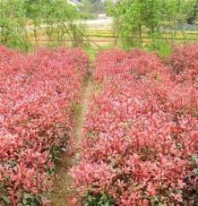 红叶石楠球 湖南长沙苗圃厂家直销 优质绿化乔木 高杆红叶石楠