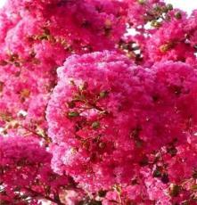 红花紫薇树 湖南长沙苗圃 优质乔木 绿化苗木 支持混批 紫薇树