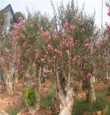 乔木紫薇树 湖南长沙 绿化苗木 公园布景 红花紫薇树 支持混批