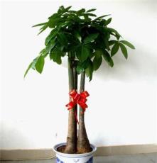 南昌花卉租摆 绿植租赁 盆栽花卉出售 发财树送礼佳品