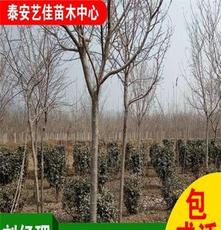 山东泰安苗木基地低价供绿化苗木 优质樱花
