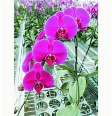 小盆栽-花卉-观花植物-蝴蝶兰大辣椒系列