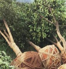 柚子树 香泡15公分全冠 供应绿化苗木 乔木类 基地直销