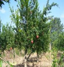 果树苗木批发田园农业果树出售 石榴 泰山红