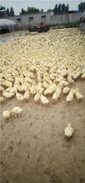 定州专业生产批发小鹅价格