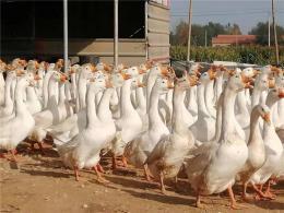 定州专业生产批发小鹅规格