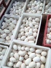 定州专业生产批发小鹅品牌