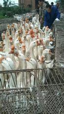 河北保定供应保定鹅苗价格