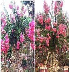 四川成都崇德园林出售紫薇造型树、紫薇价格