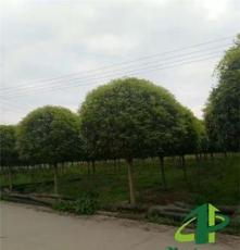 成都高杆桂花基地10公分桂花树价格批发崇德园林桂花