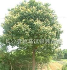 供应优质 香樟树 湖南长沙银茜苗圃 精品乔木 骨架 造型香樟树
