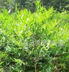 湖南苗圃直销 供应优质绿化苗木 道行树 乔木 3cm 竹柏