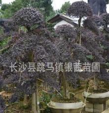 湖南苗圃直销特价 供应乔木 红花继木庄造型优美 红花继木小苗