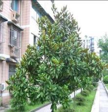 供应乔木广玉兰8cm 湖南长沙苗圃 满冠绿化苗木玉兰树 支持混批