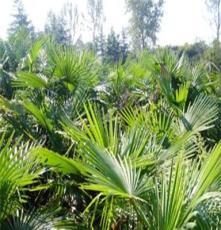 棕榈,河南棕榈,鄢陵棕榈,棕榈价格