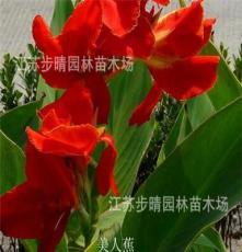 基地观赏苗木批发 剑麻 凤尾兰 棕榈苗 红花美人蕉 园林苗等