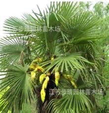 供应1-5米棕榈树 江南风景树 价格优惠 基地直销