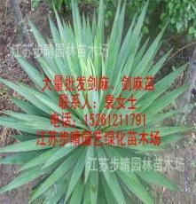 供应剑麻 棕榈苗 等各种工程绿化苗
