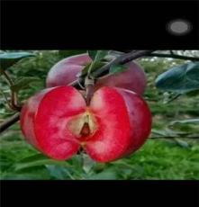 出售苹果苗