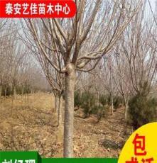 绿化苗木基地批发优质樱花 ,量大优惠