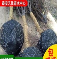 批发5公分紫叶李