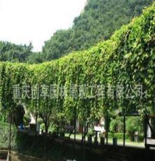 攀援植物、油麻藤、常春油麻藤、常绿油麻藤、油麻藤苗