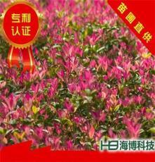 珍珠五彩桂 绿化乔木树种