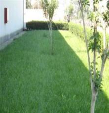 供应绿化苗木四季青草坪 球场 庭院专用草皮 耐践踏型草坪