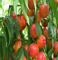 果树苗木批发田园农业果树出售 桃 中油4号