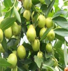 果树苗木批发田园农业果树出售 伏脆蜜