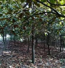 四川广玉兰供应基地 广玉兰价格表成都乔木灌木基地