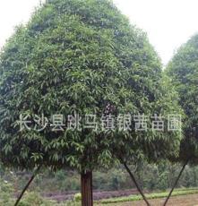 精品乔木桂花12-14cm 湖南长沙 供应优质丹桂 八月桂桂花树