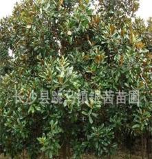 玉兰树8--15CM 湖南长沙苗圃 大量供应常绿乔木广玉兰、紫玉兰
