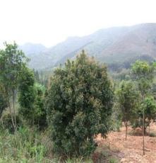 杨梅树 湖南长沙跳马苗圃 供应大量乔木观果 观叶一体绿化苗木