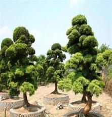 供应罗汉松8cm乔木 湖南长沙苗圃 移植造型原生绿化苗木 罗汉松