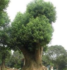 湖南长沙直销 胸径20cm乔木专业园林 移植香樟 支持混批