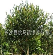 湖南苗圃直销 供应乔木工程 道路 小区绿化 园林观赏 紫薇树