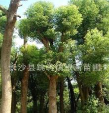 湖南建宇苗圃直销 供应乔木移植骨架胸径40cm香樟树 香樟小苗