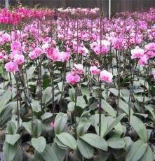 蝴蝶兰花苗、兰花、花卉、
