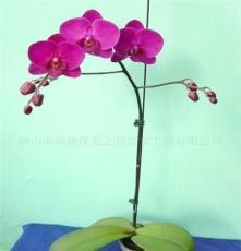 蝴蝶兰花苗、兰花、花卉