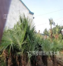 直销1.5以上棕榈 棕榈树 等风景树系列