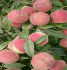 桃树苗红不软