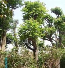 乔木假植麻楝大树袋苗全冠现货供应