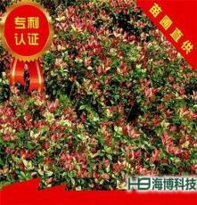 五彩桂花园林绿化乔木树苗