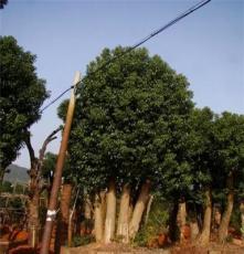 供应乔木 10cm_香樟树 湖南长沙苗圃 道行树、园林绿化苗木